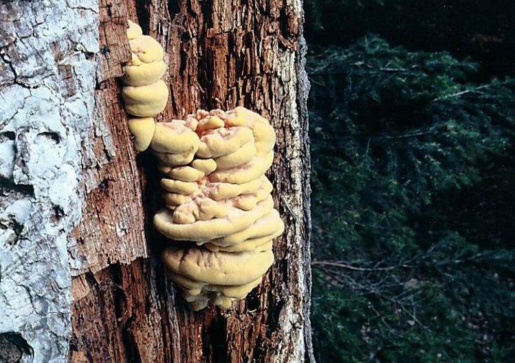 Sírovec žlutooranžový - Laetiporus sulphureus