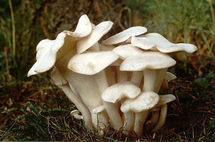 Líha srostlá - Lyophyllum connatum