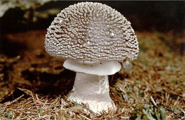 Muchomůrka šedivka - Amanita spissa