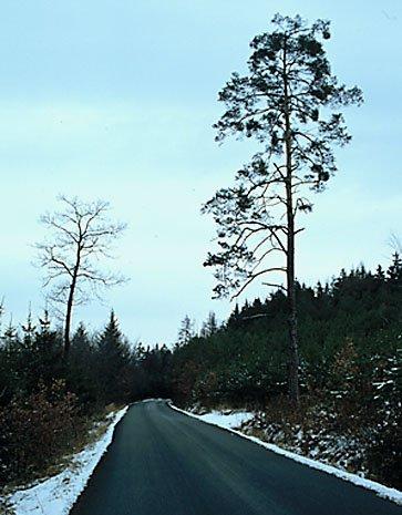 osamocená borovice