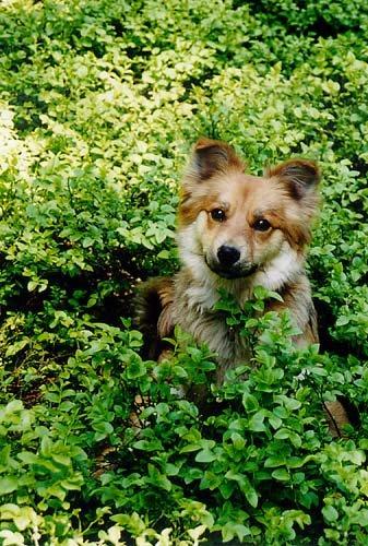 Pes či liška?