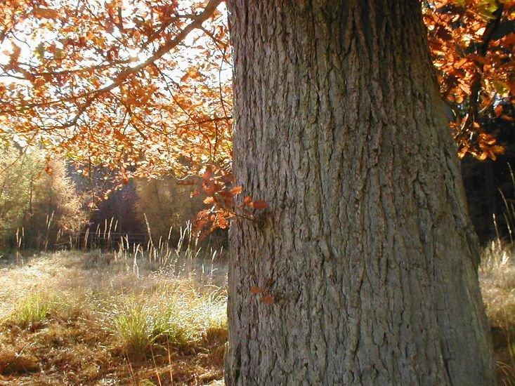 slunce chytá dubové listí
