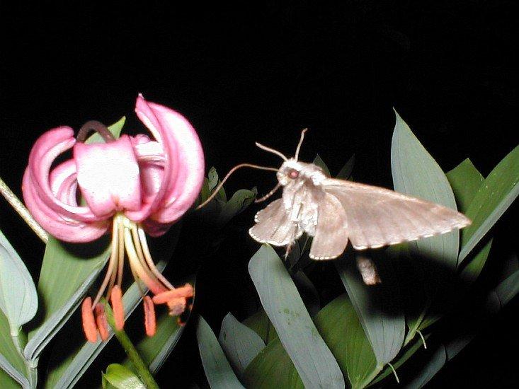okupovaná lilie