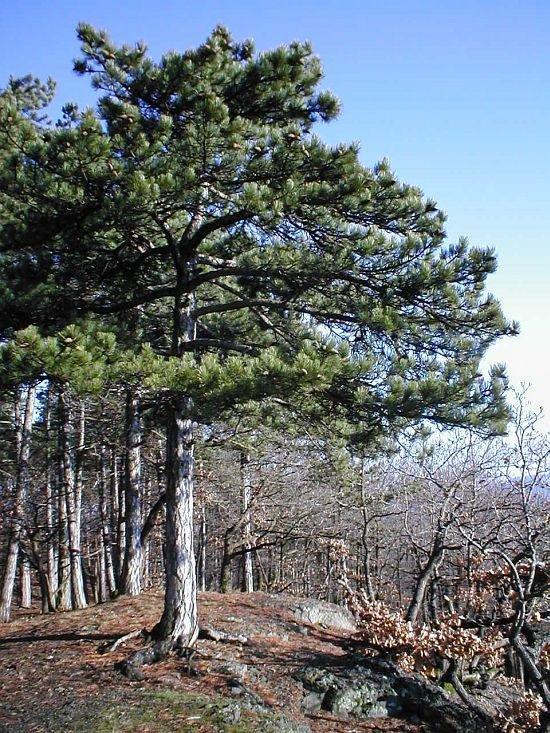 krnící borovice