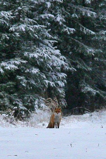liška pod Březákem