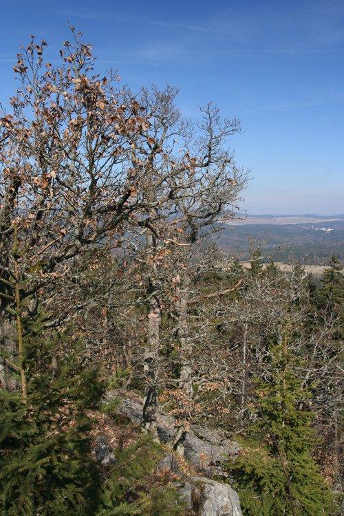 vrcholová část se staletými duby