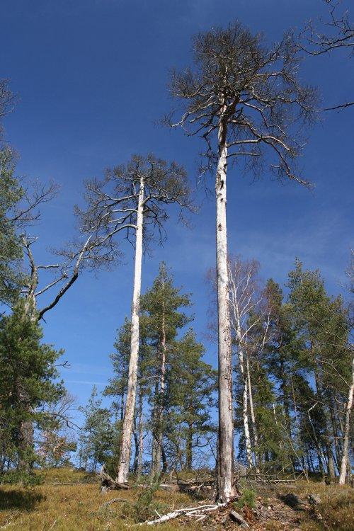 usychající borovice