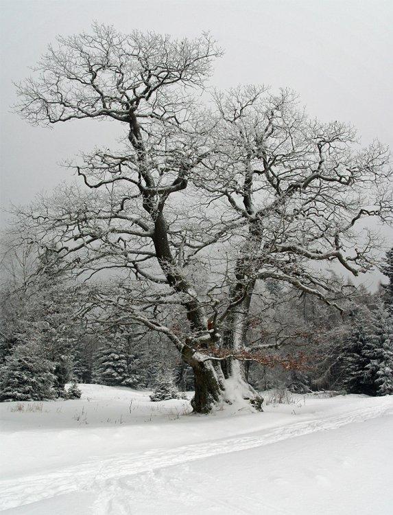 Možná nejhezčí strom v Brdech (Přední Záběhlá)