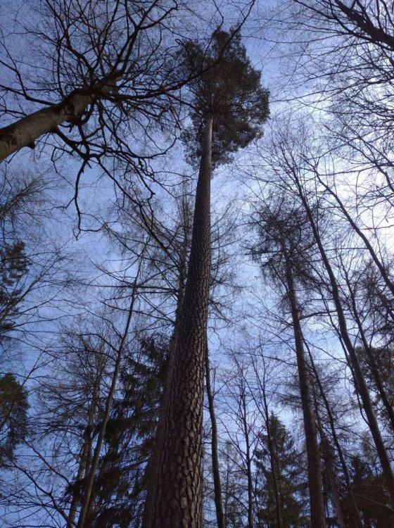 majestátní borovice