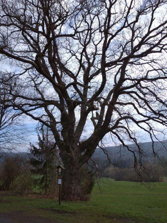 majestátní dub