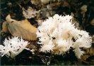 Kuřátečko hřebenité - Clavulina coralloides