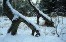 dřevění brontosauři