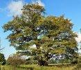 dub na Přední Záběhlé