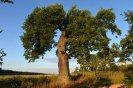 Peškův dub u Tění 2016